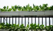Chủ nhà Hà Nội bỏ tiền thuê vứt chậu trồng rau sau một năm