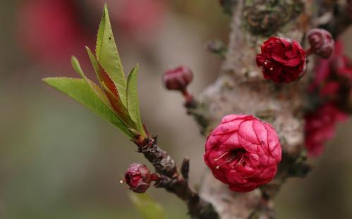 Trưng hoa đào ngày Tết là phong tục đặc trưng của người miền Bắc.