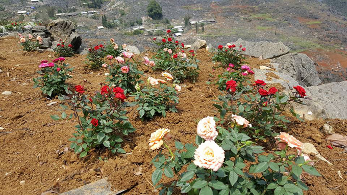 Anh chồng cải tạo đồi đá Hà Giang thành vườn hoa khổng lồ
