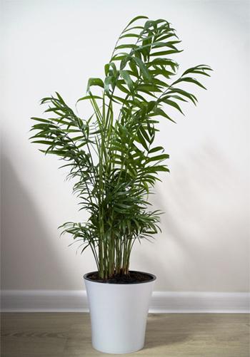 Cây cau tiểu trâm: Loại cây có dáng vẻ mảnh mai nhưng lại có sức sống mạnh mẽ. Dù có đặt trong khu vực thiếu ánh sáng tự nhiên, cây vẫn phát triển bình thường.