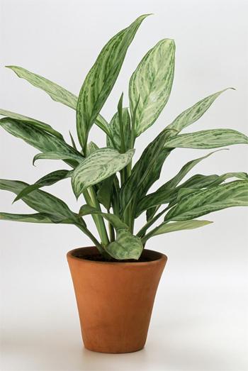 Cây phú quý: Nếu là người chưa làm vườn bao giờ, bạn hãy chọn ngay loại cây rất dễ sống này.