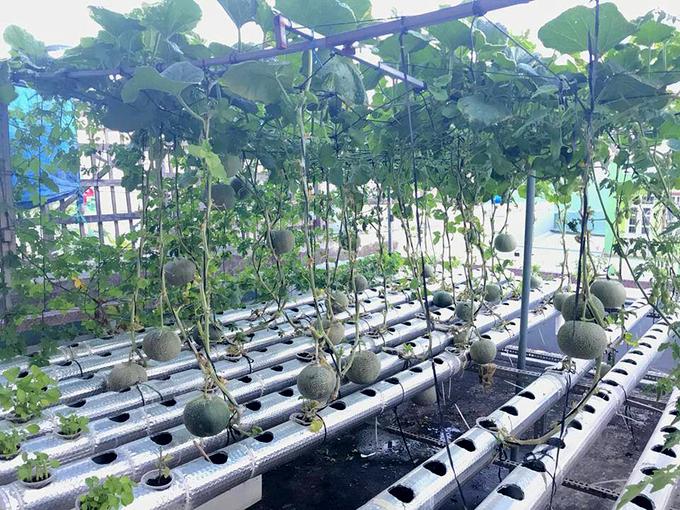 Vườn sân thượng xanh tốt, trĩu quả của chàng sinh viên