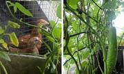 Vườn rau chuồng gà tươi tốt trên ban công chung cư