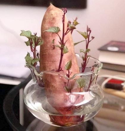 Trên mạng xã hội, mọi người thi nhau khoe thành quả trồng khoai trong bình nước hoặc chậu đất. Những chậu cây bé xinh được gọi với cái tên mỹ miều khoai lang bon sai.