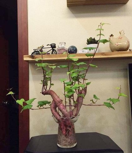 Mọi người đùa nhau đây là thú vui của những ai đam mê bonsai nhưng kinh tế eo hẹp.