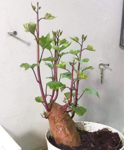 Một du học sinh Việt ở Đài Loan cũng nhanh chóng update trào lưu mới khi trồng khoai cạnh góc học tập.