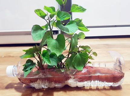Chị Ngọc Lan, ở Quảng Ninh, còntỉ mỉ cắt chai nước làm không gian sống cho khoai lang bon sai. Lúc đầu chị trồng trong một chậu đất nhỏ, sau đó mới cho vào nước. Một ngày chịtưới nước 2 ngày cho cây.