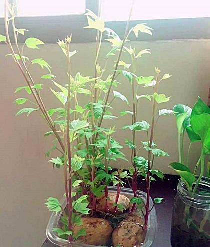 Anna Vũ, ở Hà Nội,cho biết cô mua khoai lang về ngâm nước, khoảng 4,5 ngày sau củ nảy mầm, sau đó phát triển thành ngọn, vươn lên rất nhanh. Trong vòng hai tuần cây đã có nhiều lá.