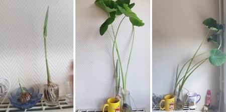Chị Lan, ở Hà Nội, trồng khoai môn trong chậu nước. Cũng giống như khoai lang, khoai môn nảy mầm ngâm nước lớn rất nhanh, thân cây thẳng tắp.