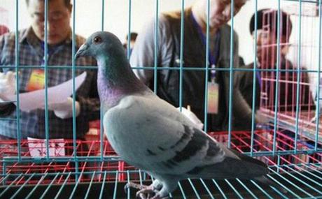 Những chú chim bồ câu trong một cuộc đua. Ảnh: Chinatimes.