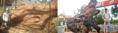 Trong một năm, có 6khúc gỗ khổng lồ được mang từ rừng sâu bởi anh Thành và Kết. Ảnh: NVCC.