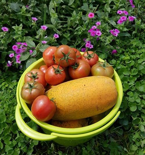 Cà chua, đu đủ chín mỗi lần cô hái mỏi cả tay.
