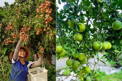 Vườn nhà cô mùa nào thức nấy, sum suê hoa trái