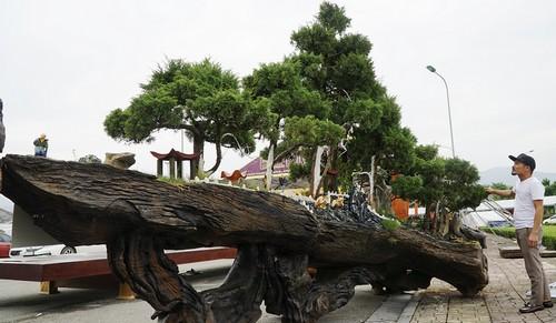 Khúc gỗ hiếm suýt thành củi được giải cứu phút chót
