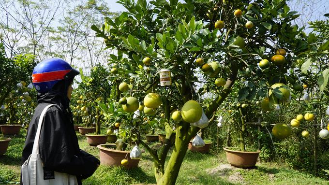 Cây bưởi Hà Nội trổ ra hàng trăm quả... cam, quýt, phật thủ