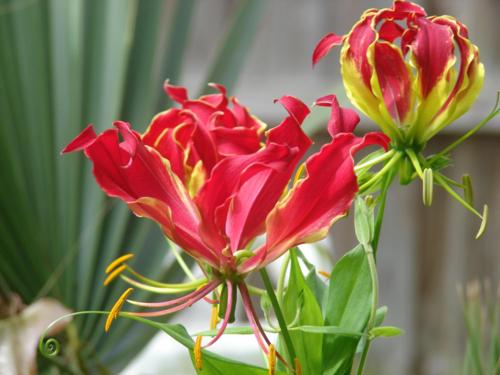 Tất cả các thành phần của cây hoa ly lửa đều có độc. Ảnh: kaooriginal.com