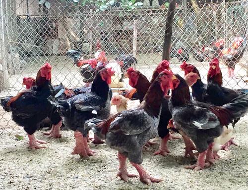Những con gà Đông Tảo chuẩn bị xuất chuồngtrong vườn nhà anh Lê Trung. Ảnh: NVCC.