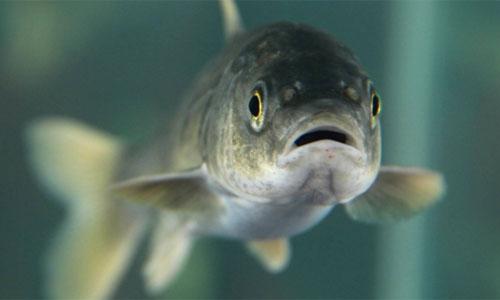 Cặp vợ chồng bị phạt nặng vì nấu nhầm cá thuộc sách đỏ - ảnh 2
