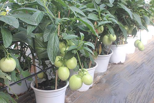 Đến đúng Tết, những trái cà chua xanh này sẽ đổi sang màuđỏ. Ảnh: Quốc Dũng