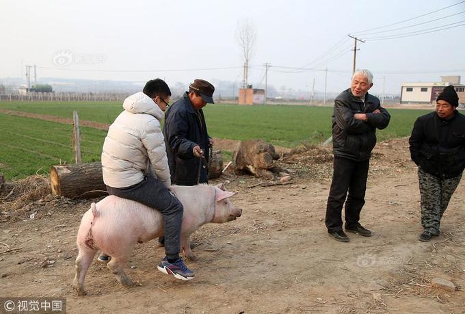 Bác nông dân dẫn cừu, lợn, gà vịt trong nhà đi diễn xiếc - ảnh 3