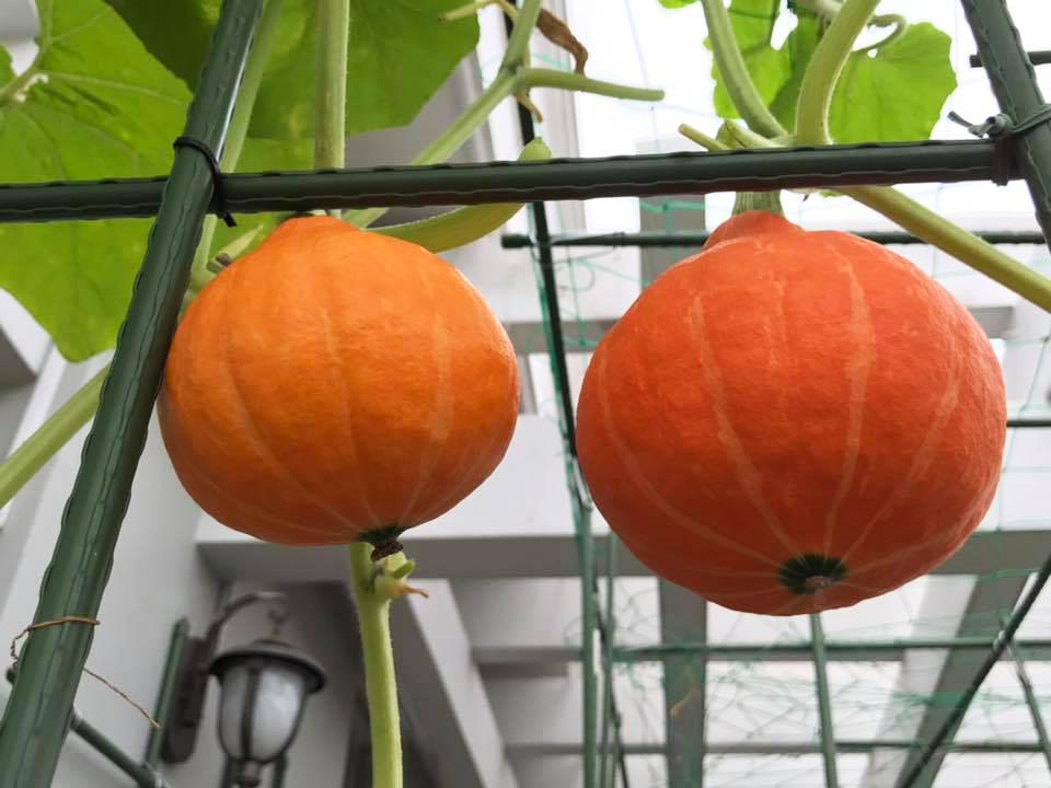 Gia đình Sài Gòn bị nhầm là trồng rau 'đột biến' vì quá tốt
