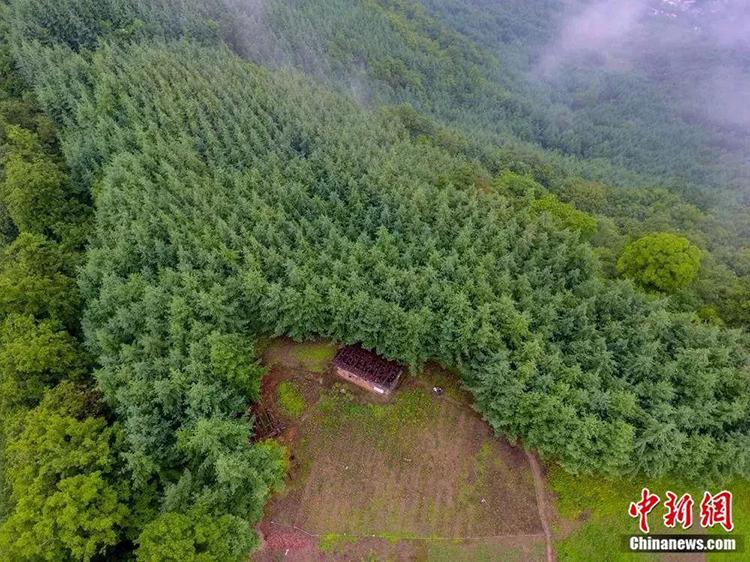Tất cả những cây xanh này là do ông Yongping trồng trong 32 năm qua, hơn 20loại cây có giá trị kinh tế cao và thuộc loài quý hiếm. Ảnh: China News.