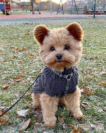 Chú chó 'dễ thương nhất thế giới' bị nhầm là gấu bông