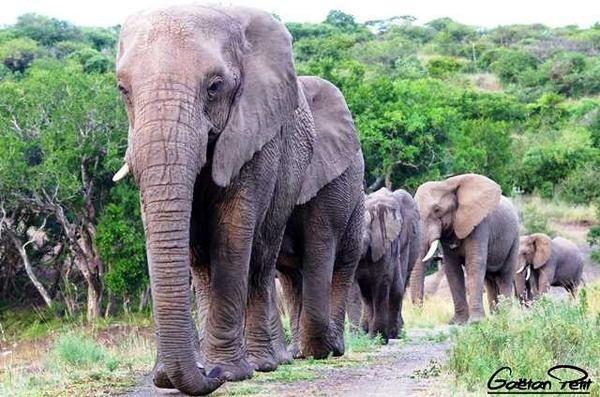 Nana dẫn đầu đàn voi hành quân 12 tiếng đến viếng ông Lawrence vào ngày giỗ mỗi năm. Ảnh: Thulathula.
