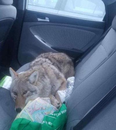 Con sói nằm ngoan trong xe, khiến Boroditsky ngỡ là một con chó. Ảnh: CNN.