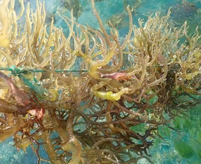 Nước ép rong biển vị sâm Fansipan cho người cao tuổi - ảnh 1